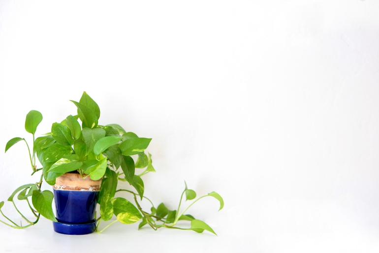Potted Golden Pothos